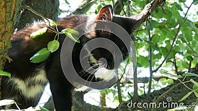 Schöne schwarz-weiße Katze mit einem langen weißen Schnurrbart sitzt auf Baum im Dorf stock footage