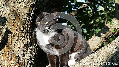 Schöne schwarz-weiße Katze mit einem langen weißen Schnurrbart sitzt auf Baum im Dorf stock video
