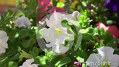 Schöne weiße Blume gegen die hellgrünen Blätter eines tropischen Busches Ein warmer sonniger Tag auf einer Tropeninsel abschlu? stock video footage