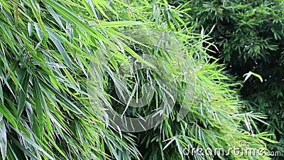 Schöner Bambus verlässt beweglich und windig über dem Beeinflussen, das grüne Farbe im Naturwald stock video