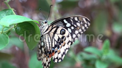 Schöner farbiger Schmetterling auf dem grünen Blatt flach die Flügel stock video footage