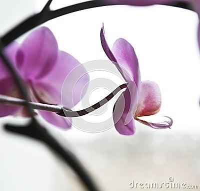 Schöner rosafarbener Caladenia
