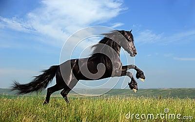 Schönes schwarzes Pferd, das auf dem Feld spielt