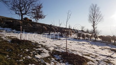Schafe im Winter vor Ort stock video footage