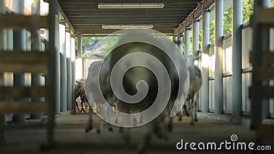 Schafe laufen gelassen zur Hürde