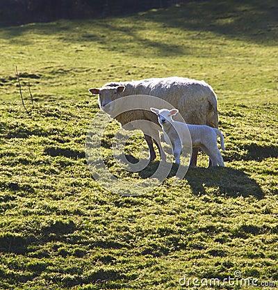 Schafe u. Lamm - Wales - Großbritannien