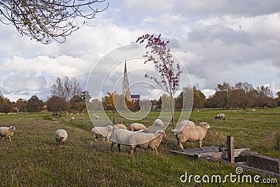 Schafe und Helm