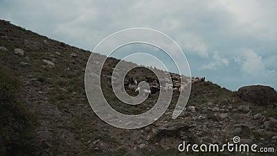Schafherde auf dem Berg stock video
