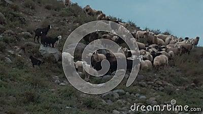 Schafherde auf dem Berg stock video footage