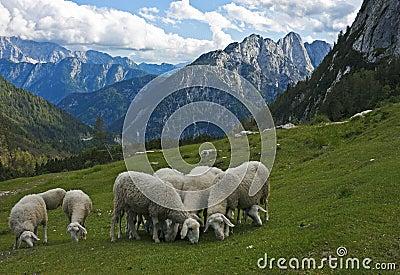 Schapen in de Alpen, Slovenië