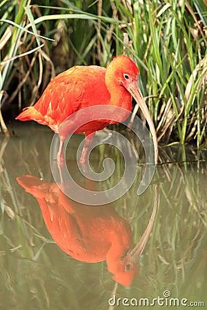 Scharlakansröda ibis