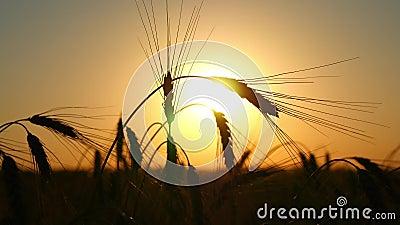Schattenbild des Weizens auf einem Gebiet auf einem Sonnenunterganghintergrund Bearbeitung und Ernten Das Feld des goldenen Weize stock video