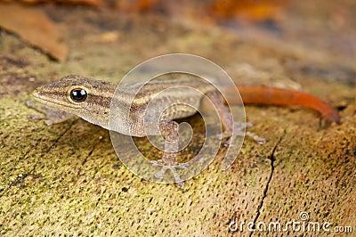 Scheffler s dwarf gecko