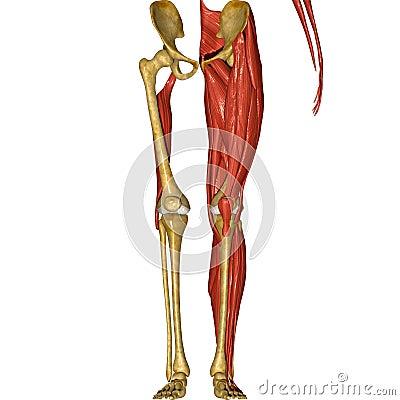 Come Allungare i Muscoli della Parte Posteriore della Coscia