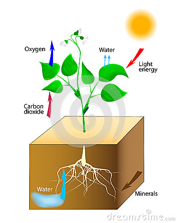 Free Schematic Of Photosynthesis In Plants Royalty Free Stock Image - 26350176