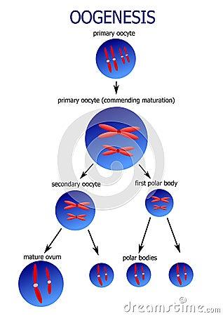Scheme of ovogenesis