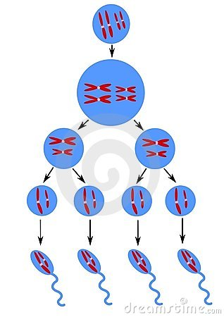 Scheme of spermatogenesis