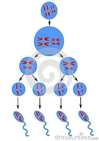 Scheme of spermatogenesis