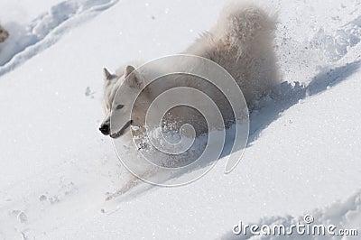 Schieben Sie Downhills in einem Schnee