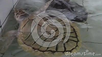 Schildpad zwemmen in helder water, kijkend naar een schoon water waar schildpad onderaan zwemt, schildpad zwemt in Turtle Isla stock videobeelden