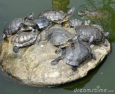 Een bos van schildpadden die op een grote steen op een meer leggen