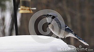Schitterende blauwachtige vogel op sneeuw die zaden langzaam opeet - corvidae cyanocitta cristata stock video