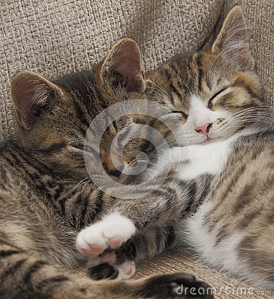 Schlafen Tabbykätzchen