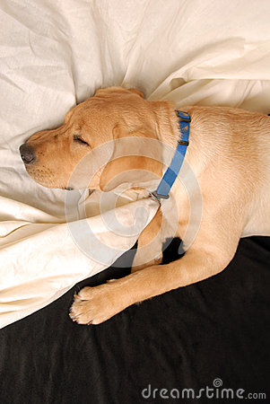 Schlafenwelpe