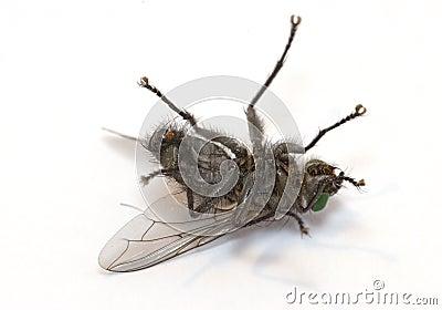 Schläfrige Fliege (Makro des Insekts)