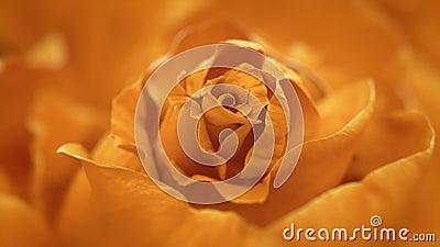 Schließen Sie oben von öffnender Orangenrose, blühende orange Rosen