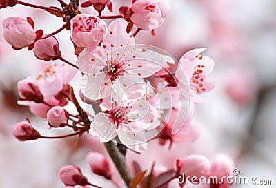Schließen Sie oben von der rosa Blüte