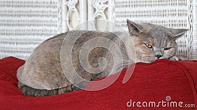Schlummernde Katze