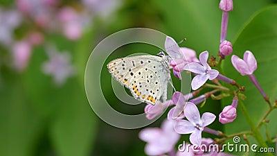 Schmetterling auf einer schönen lila lila Blüte blüht im Stadtpark im Frühling auf Ausgewählter Fokus Blur stock video footage