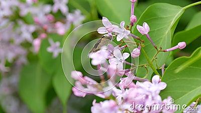 Schmetterling auf einer schönen lila lila Blüte blüht im Stadtpark im Frühling auf Ausgewählter Fokus Blur stock footage