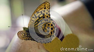 Schmetterling, der auf der Schulter einer Frau sitzt und seine Flügel wellenartig bewegt stock footage