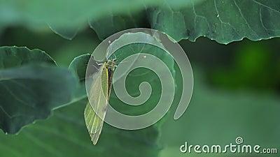 Schmetterling, der Eier auf grünes Blatt legt stock video footage