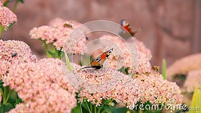 Schmetterlinge, die ?ber rosa Gartenblumen fliegen