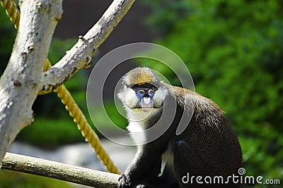 Schmidt s Spot-nosed Guenon