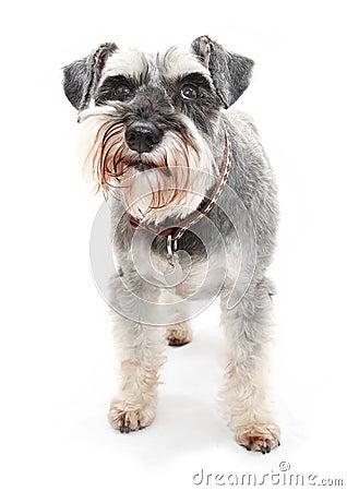Free Schnauzer Dog Royalty Free Stock Photography - 18303407