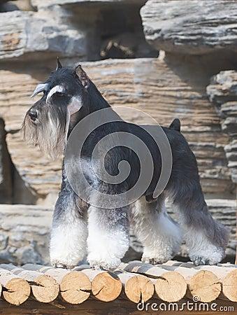 Free Schnauzer Dog Stock Photography - 6784102