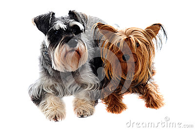Schnauzer and Yorkshire Terrier lying on floor