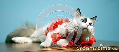 Schöne Katze, blauäugige Katze,
