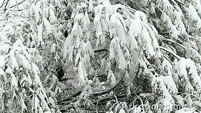 Schnee, der auf Baum ausfällt stock footage