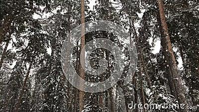 Schnee fällt in den Winterkiefernwald stock video