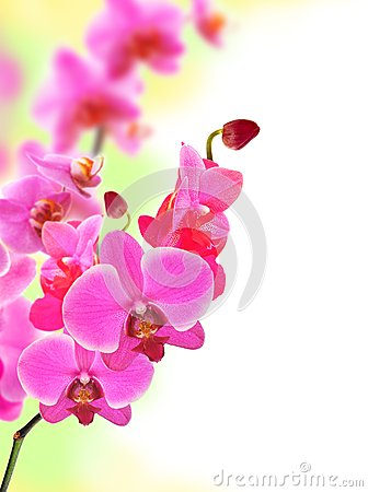 sch ner blume orchideen rosa phalaenopsis lizenzfreie. Black Bedroom Furniture Sets. Home Design Ideas