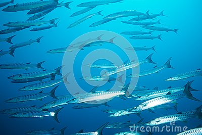 School Of Barracudas In The Stream Stock Photo - Image: 26899260