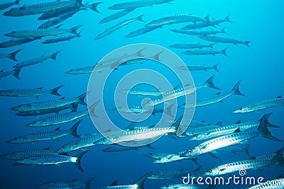 School of barracudas in the stream