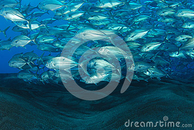 School of bigeye jack fish