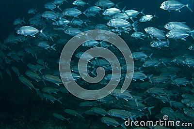 School of blue fish