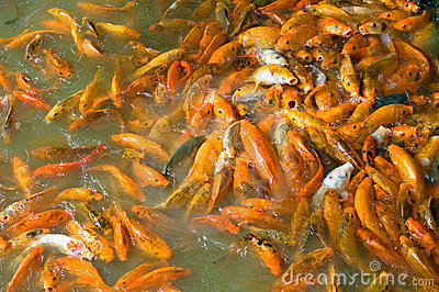 School Of Brocarded Carp Stock Images - Image: 5956024